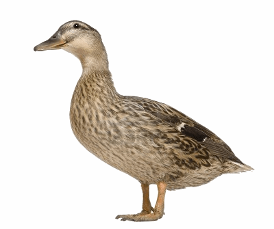 Canard-3.png